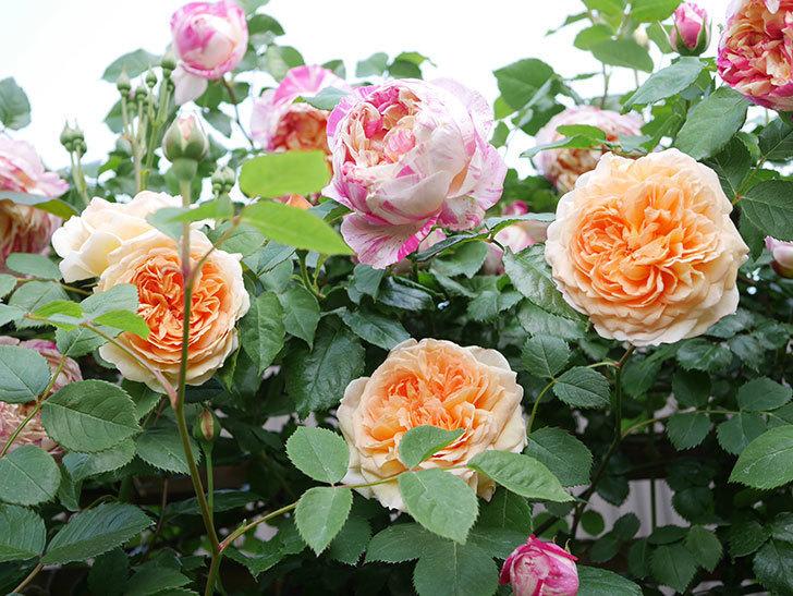 バスシーバ(Bathsheba)の花がたくさん咲いた。ツルバラ。2021年-030.jpg