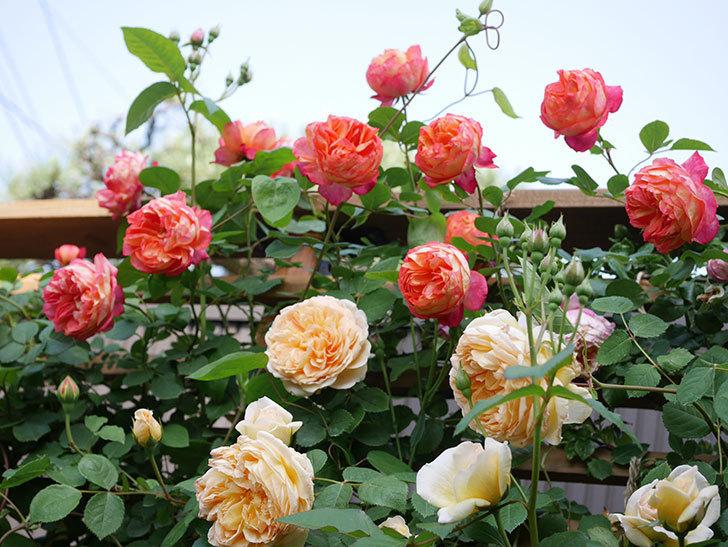 バスシーバ(Bathsheba)の花がたくさん咲いた。ツルバラ。2021年-031.jpg