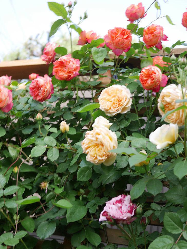 バスシーバ(Bathsheba)の花がたくさん咲いた。ツルバラ。2021年-032.jpg