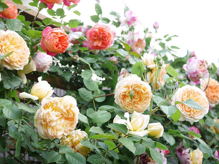 バスシーバ(Bathsheba)の花がたくさん咲いた。ツルバラ。2021年-033.jpg
