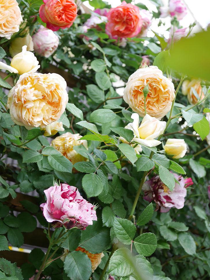 バスシーバ(Bathsheba)の花がたくさん咲いた。ツルバラ。2021年-034.jpg