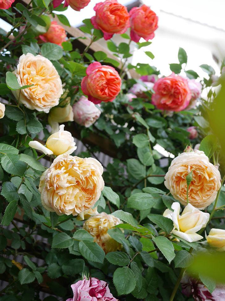 バスシーバ(Bathsheba)の花がたくさん咲いた。ツルバラ。2021年-035.jpg
