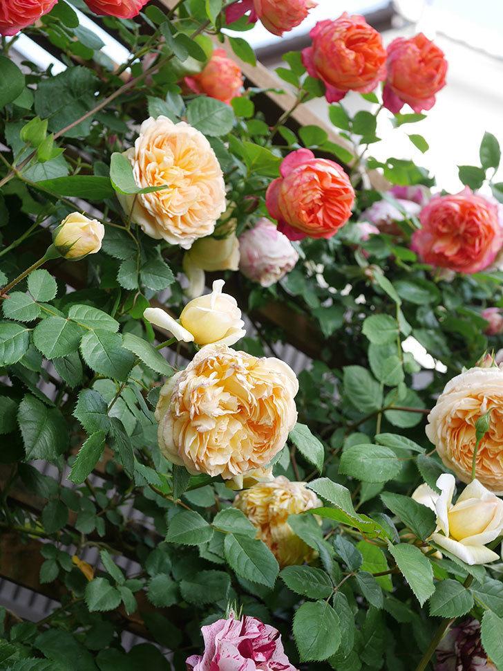 バスシーバ(Bathsheba)の花がたくさん咲いた。ツルバラ。2021年-036.jpg