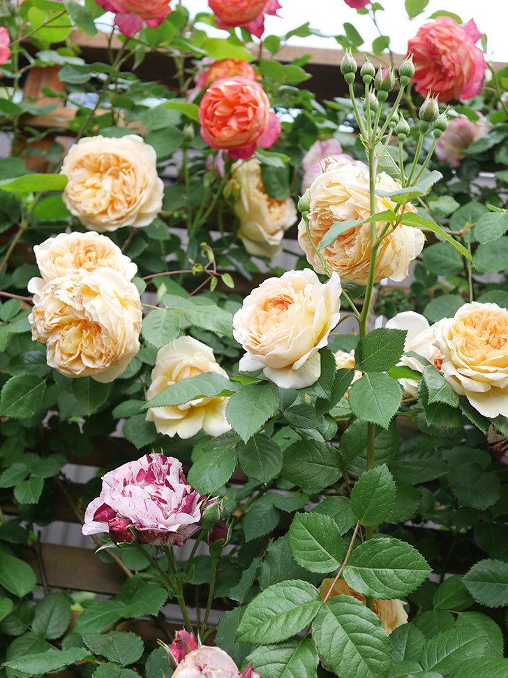 バスシーバ(Bathsheba)の花がたくさん咲いた。ツルバラ。2021年-040.jpg