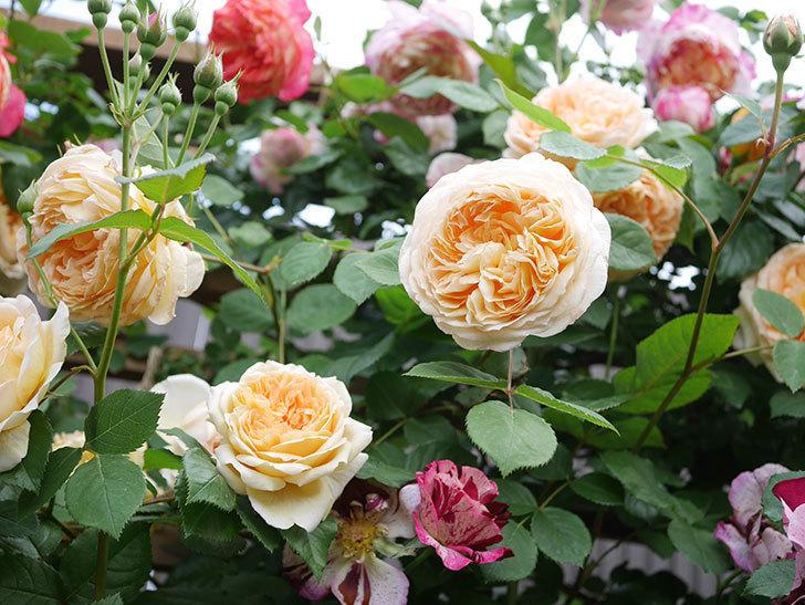 バスシーバ(Bathsheba)の花がたくさん咲いた。ツルバラ。2021年-044.jpg