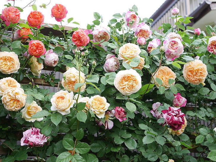 バスシーバ(Bathsheba)の花がたくさん咲いた。ツルバラ。2021年-046.jpg
