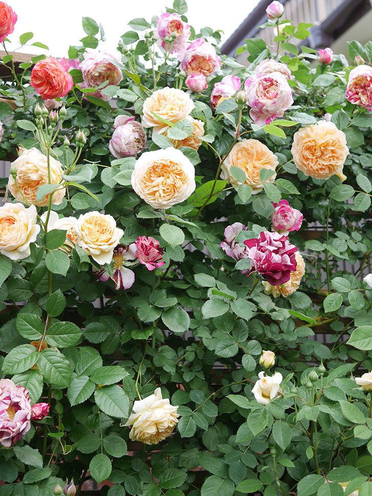バスシーバ(Bathsheba)の花がたくさん咲いた。ツルバラ。2021年-047.jpg