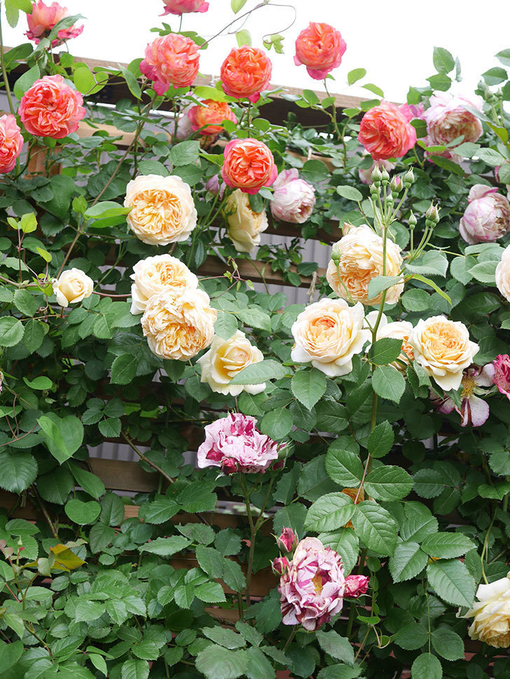 バスシーバ(Bathsheba)の花がたくさん咲いた。ツルバラ。2021年-048.jpg