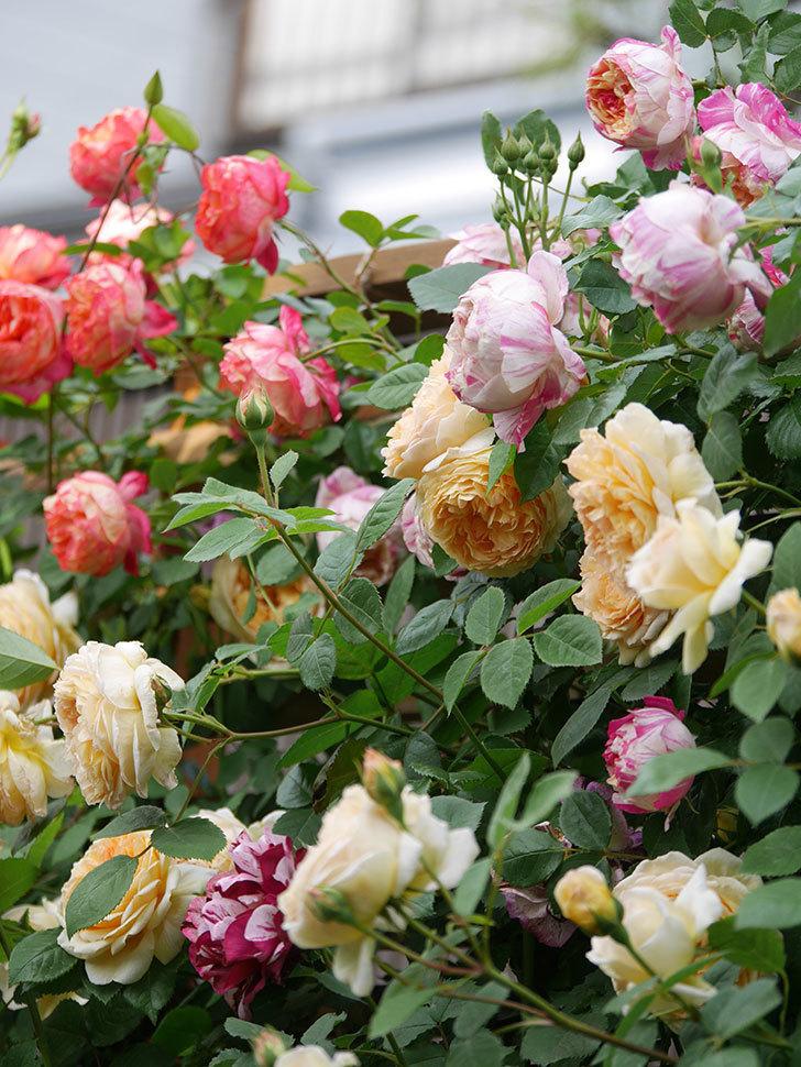 バスシーバ(Bathsheba)の花がたくさん咲いた。ツルバラ。2021年-049.jpg