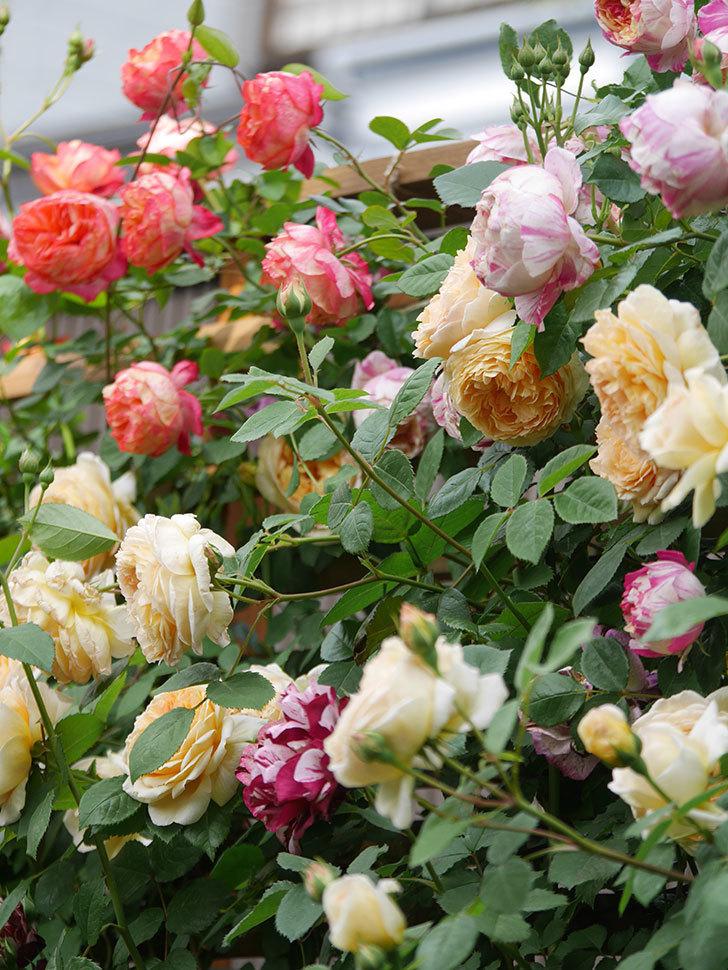 バスシーバ(Bathsheba)の花がたくさん咲いた。ツルバラ。2021年-050.jpg