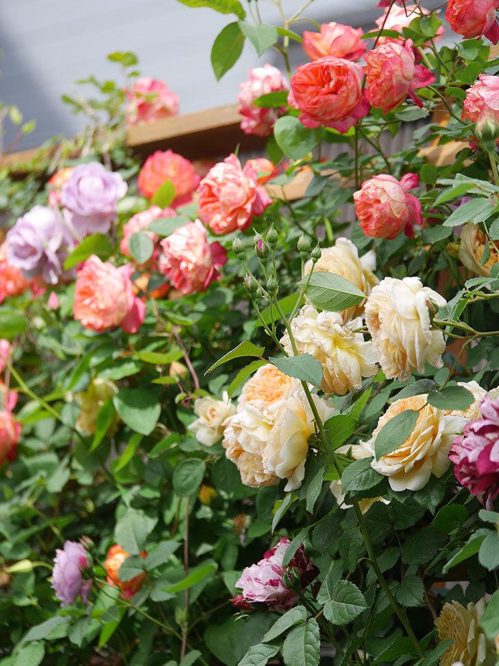 バスシーバ(Bathsheba)の花がたくさん咲いた。ツルバラ。2021年-051.jpg