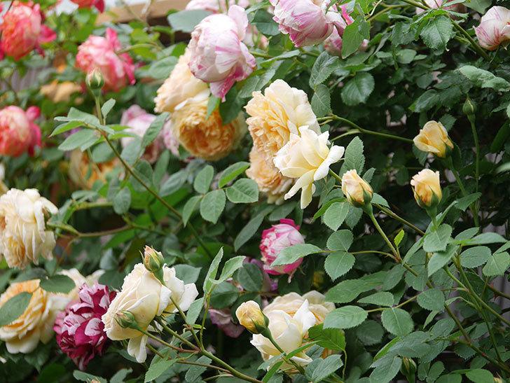 バスシーバ(Bathsheba)の花がたくさん咲いた。ツルバラ。2021年-052.jpg