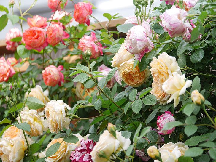 バスシーバ(Bathsheba)の花がたくさん咲いた。ツルバラ。2021年-053.jpg