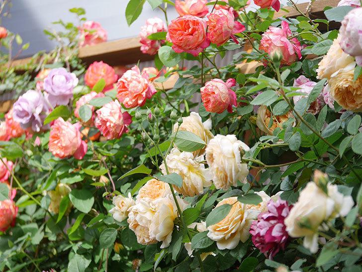 バスシーバ(Bathsheba)の花がたくさん咲いた。ツルバラ。2021年-054.jpg