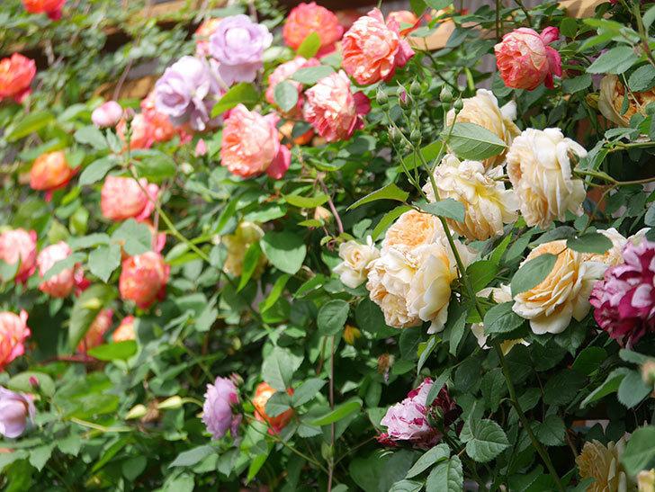 バスシーバ(Bathsheba)の花がたくさん咲いた。ツルバラ。2021年-055.jpg