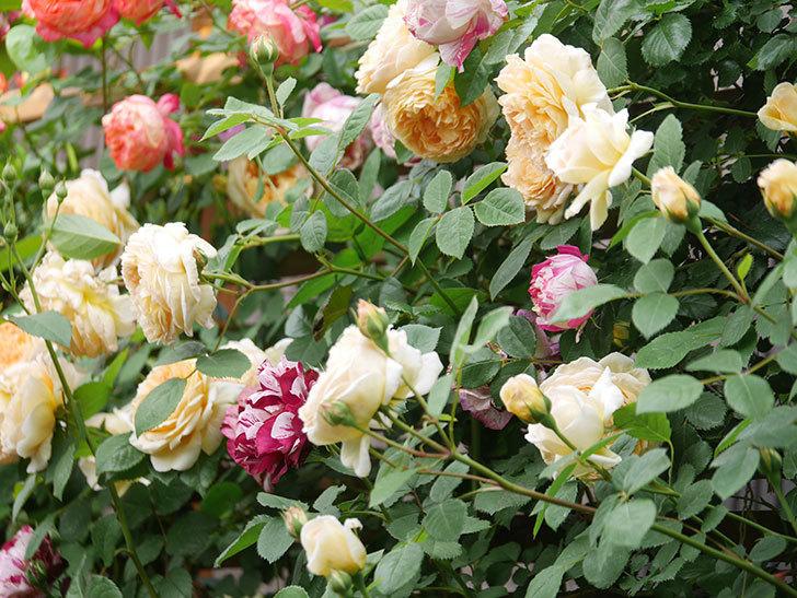 バスシーバ(Bathsheba)の花がたくさん咲いた。ツルバラ。2021年-056.jpg