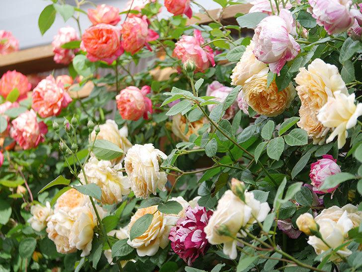バスシーバ(Bathsheba)の花がたくさん咲いた。ツルバラ。2021年-057.jpg