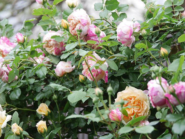 バスシーバ(Bathsheba)の花がたくさん咲いた。ツルバラ。2021年-058.jpg