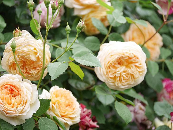 バスシーバ(Bathsheba)の花がたくさん咲いた。ツルバラ。2021年-065.jpg