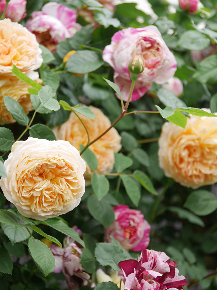 バスシーバ(Bathsheba)の花がたくさん咲いた。ツルバラ。2021年-067.jpg