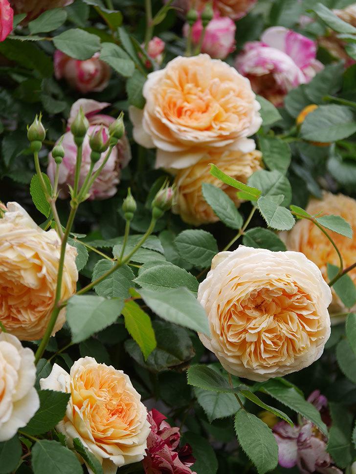 バスシーバ(Bathsheba)の花がたくさん咲いた。ツルバラ。2021年-068.jpg