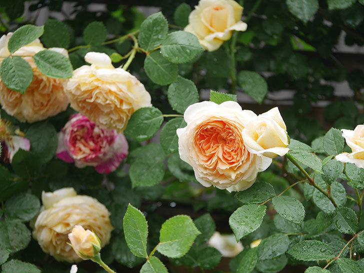 バスシーバ(Bathsheba)の花がたくさん咲いた。ツルバラ。2021年-071.jpg