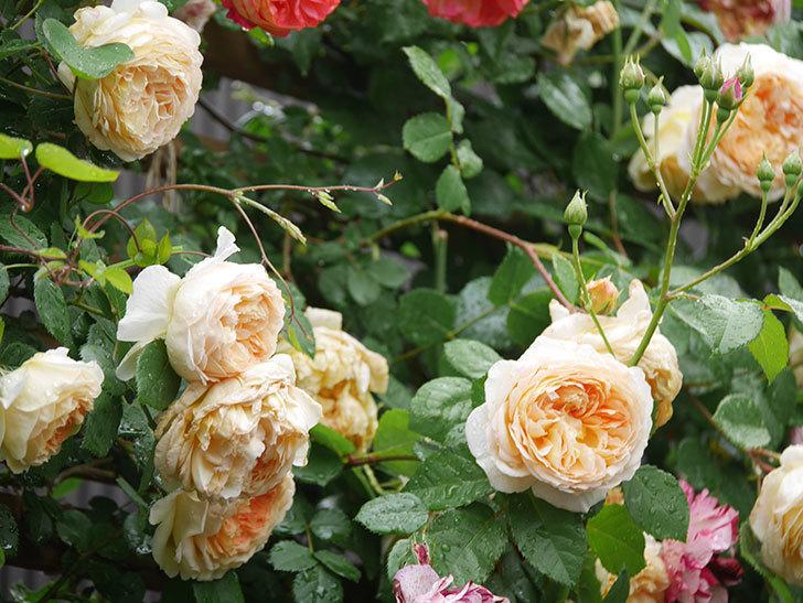 バスシーバ(Bathsheba)の花がたくさん咲いた。ツルバラ。2021年-074.jpg