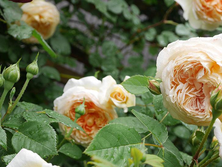 バスシーバ(Bathsheba)の花がたくさん咲いた。ツルバラ。2021年-076.jpg