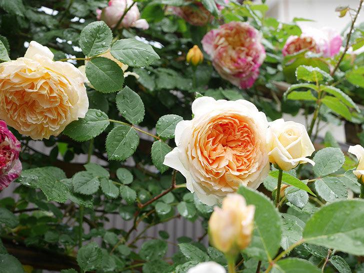 バスシーバ(Bathsheba)の花がたくさん咲いた。ツルバラ。2021年-077.jpg