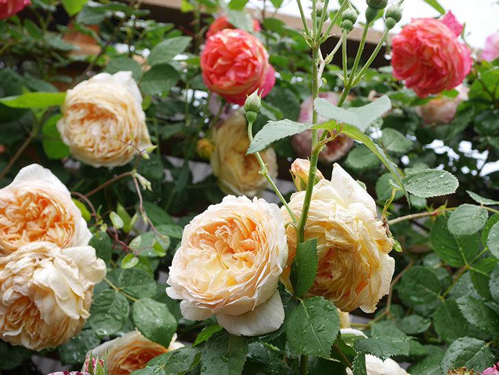 バスシーバ(Bathsheba)の花がたくさん咲いた。ツルバラ。2021年-079.jpg
