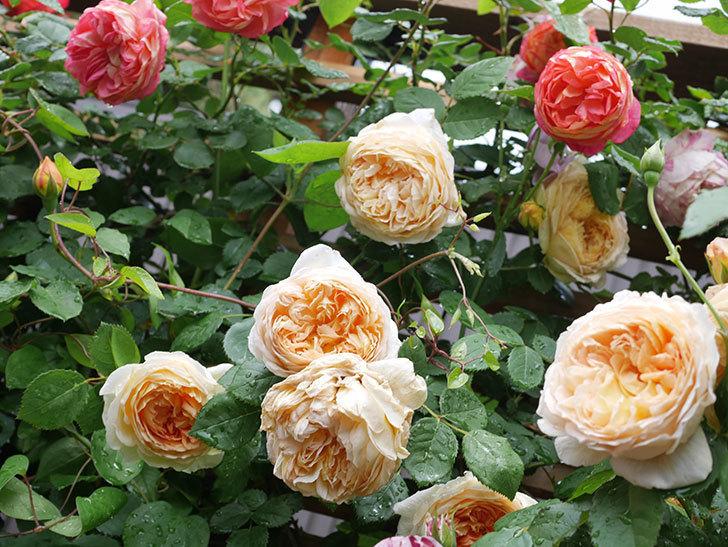 バスシーバ(Bathsheba)の花がたくさん咲いた。ツルバラ。2021年-080.jpg