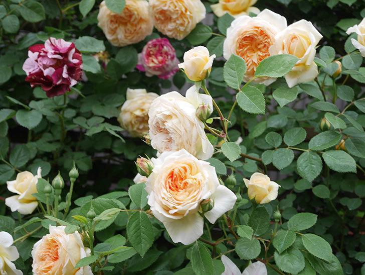 バスシーバ(Bathsheba)の花がたくさん咲いた。ツルバラ。2021年-081.jpg