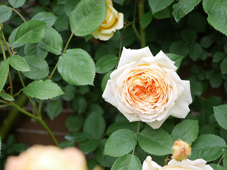 バスシーバ(Bathsheba)の花がたくさん咲いた。ツルバラ。2021年-084.jpg