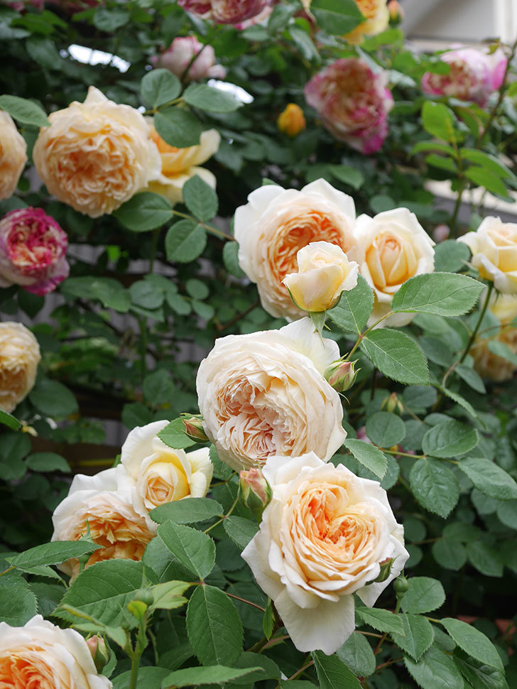 バスシーバ(Bathsheba)の花がたくさん咲いた。ツルバラ。2021年-085.jpg