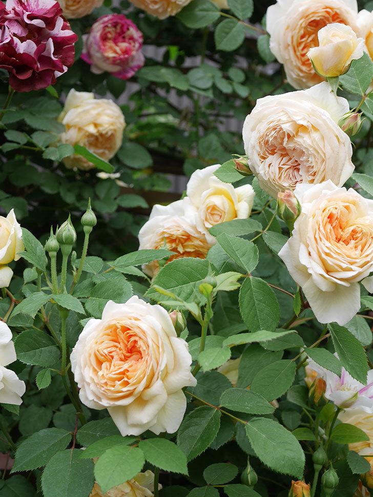 バスシーバ(Bathsheba)の花がたくさん咲いた。ツルバラ。2021年-086.jpg