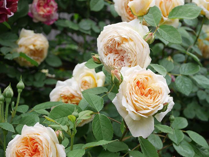 バスシーバ(Bathsheba)の花がたくさん咲いた。ツルバラ。2021年-088.jpg
