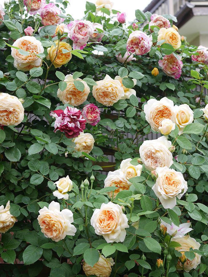 バスシーバ(Bathsheba)の花がたくさん咲いた。ツルバラ。2021年-091.jpg