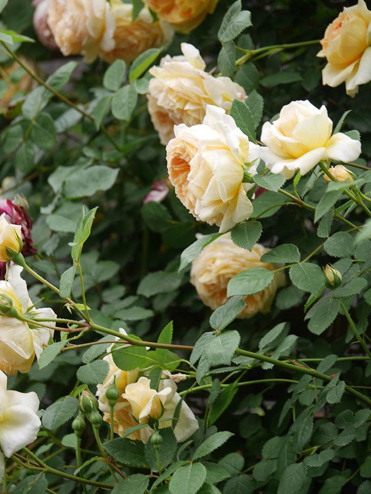 バスシーバ(Bathsheba)の花がたくさん咲いた。ツルバラ。2021年-094.jpg