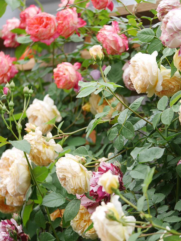 バスシーバ(Bathsheba)の花がたくさん咲いた。ツルバラ。2021年-095.jpg