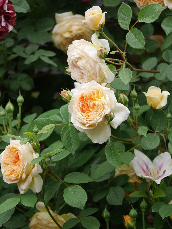 バスシーバ(Bathsheba)の花がたくさん咲いた。ツルバラ。2021年-097.jpg