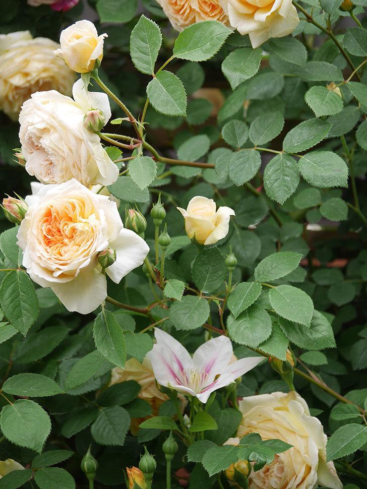 バスシーバ(Bathsheba)の花がたくさん咲いた。ツルバラ。2021年-098.jpg