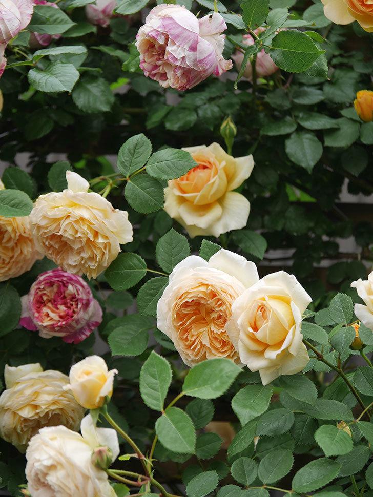 バスシーバ(Bathsheba)の花がたくさん咲いた。ツルバラ。2021年-099.jpg