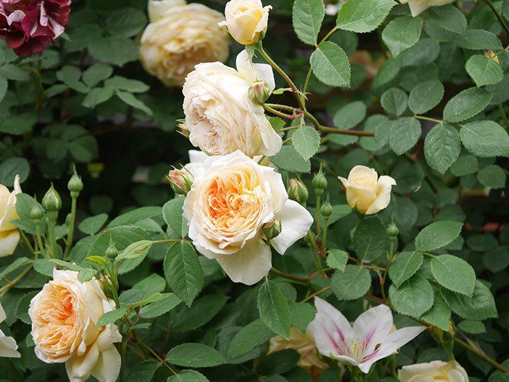 バスシーバ(Bathsheba)の花がたくさん咲いた。ツルバラ。2021年-101.jpg