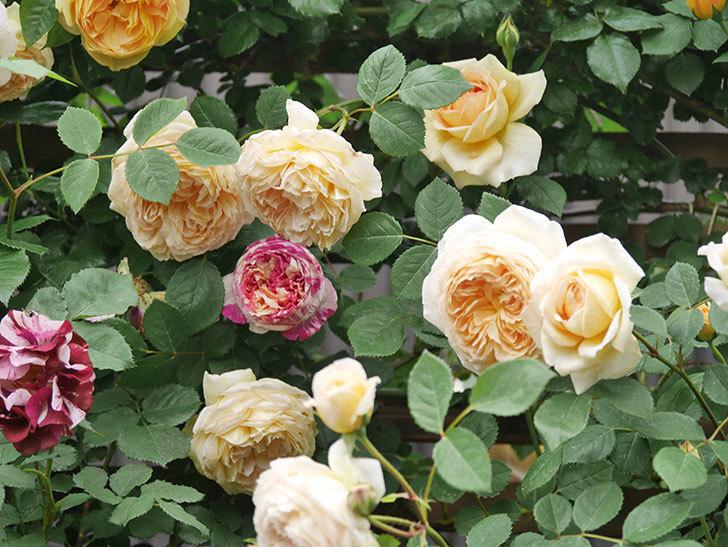バスシーバ(Bathsheba)の花がたくさん咲いた。ツルバラ。2021年-102.jpg