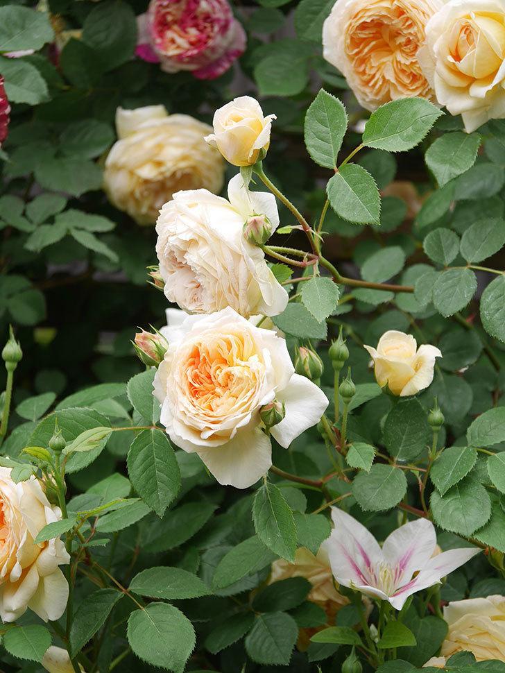 バスシーバ(Bathsheba)の花がたくさん咲いた。ツルバラ。2021年-103.jpg