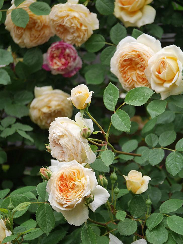 バスシーバ(Bathsheba)の花がたくさん咲いた。ツルバラ。2021年-104.jpg