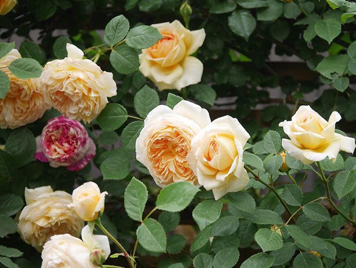 バスシーバ(Bathsheba)の花がたくさん咲いた。ツルバラ。2021年-105.jpg