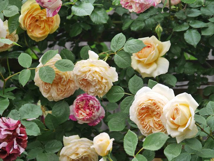 バスシーバ(Bathsheba)の花がたくさん咲いた。ツルバラ。2021年-106.jpg