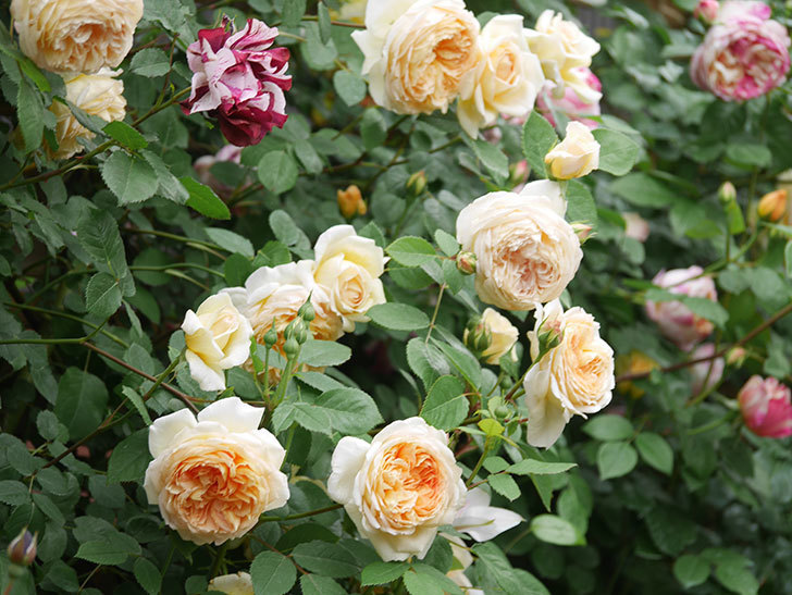 バスシーバ(Bathsheba)の花がたくさん咲いた。ツルバラ。2021年-108.jpg