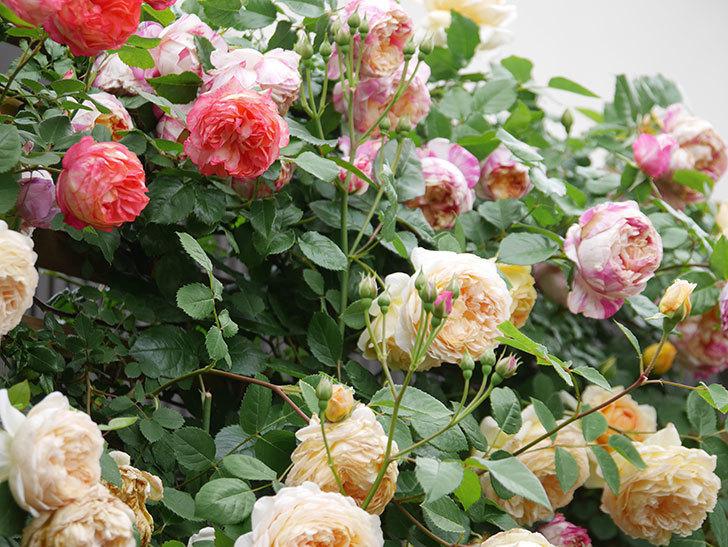 バスシーバ(Bathsheba)の花がたくさん咲いた。ツルバラ。2021年-109.jpg